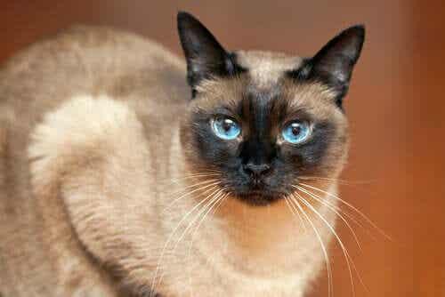 Een siamese kat met blauwe ogen kijkt in de camera