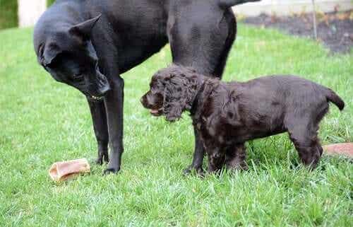 Twee zwarte honden op een grasveld