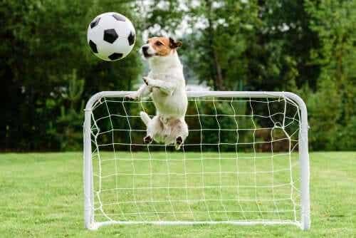Een hond springt omhoog naar een voetbal