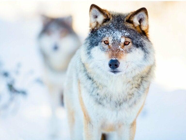 De wondere wereld van het gedrag van wolven