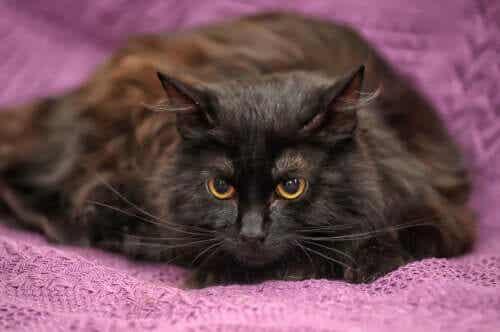 Een zwarte kat met gele ogen