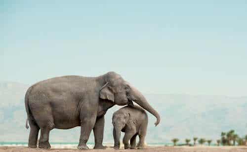Een moederolifant met haar baby