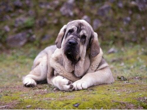 De Pyreneese mastiff: we vertellen je alles over dit ras