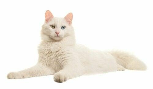 Verzorging van albinokatten