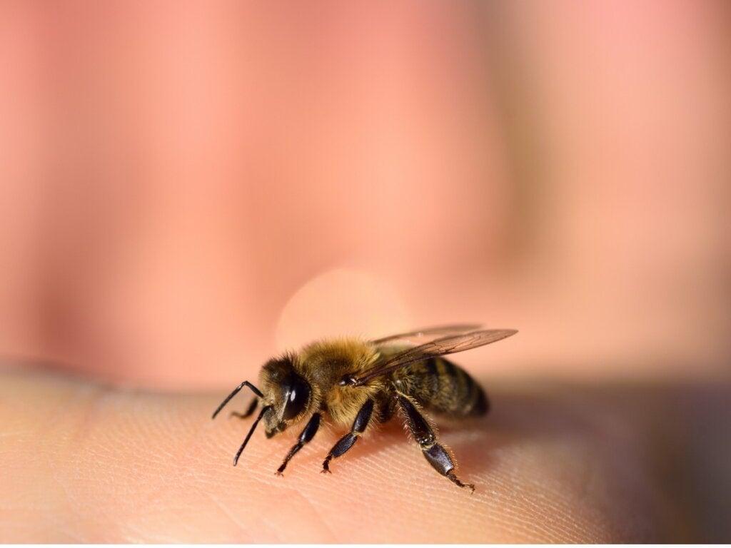 Gaan bijen dood na het steken?