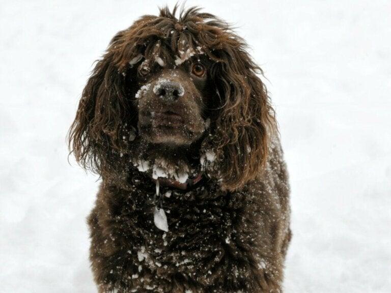 Boykin spaniël: alles over dit hondenras