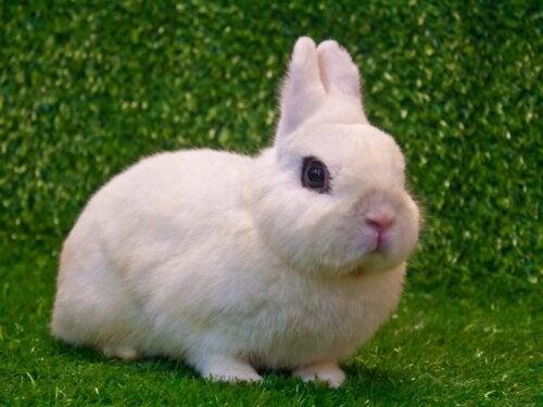 Het konijnenras de Witte van Hotot: kenmerken en verzorging