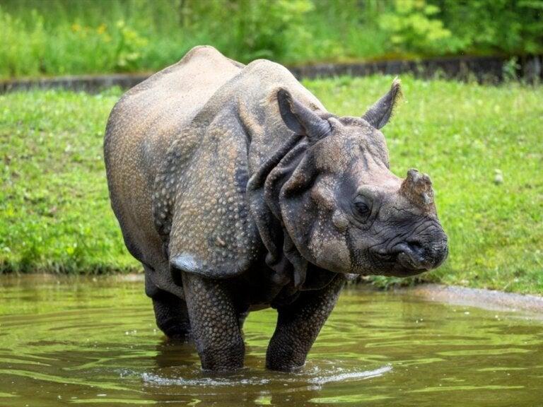 Indische neushoorn: habitat en kenmerken
