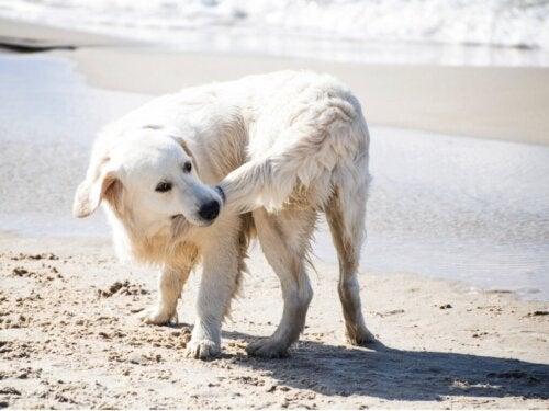 Waarom bijten honden in hun staart?