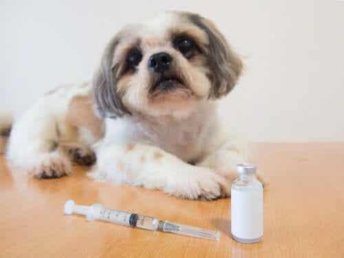 Een kleine hond naast een injectiespuit