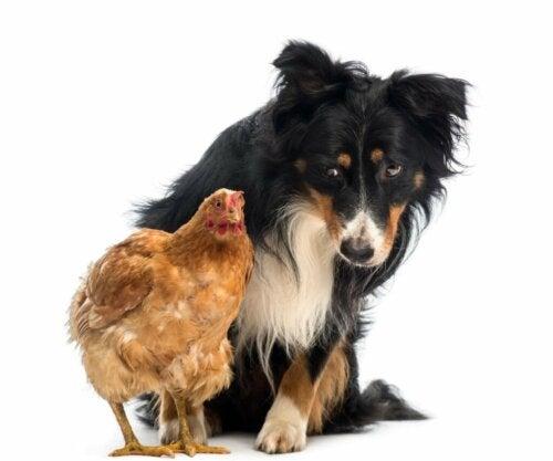 Waarom valt mijn hond kippen aan en hoe kan ik dit vermijden?