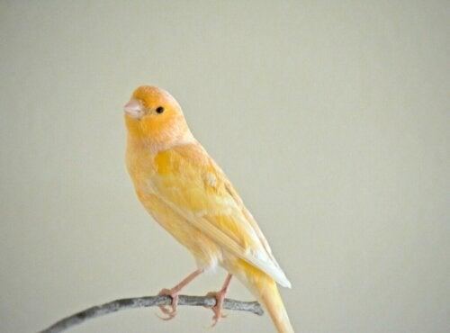 De veren van mijn kanarie vallen uit: waarom precies?