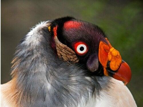 De koningsgier: habitat en kenmerken