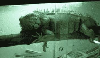 Een leguaan in een terrarium