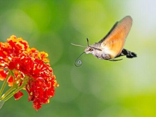 De kolibrievlinder: habitat en kenmerken
