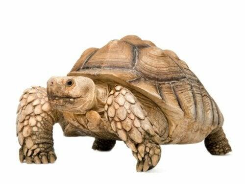 De sporenschildpad: habitat en kenmerken