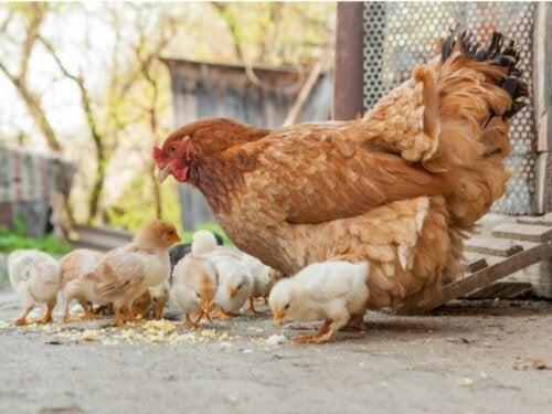 Het verschil tussen een kip, een haan en een hen
