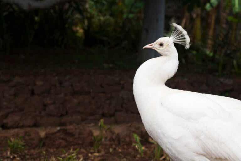Het wonderlijke geval van de albino-pauw