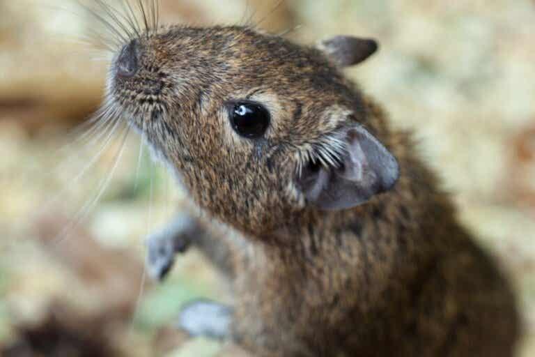 Maak kennis met de degoe, een knaagdier uit Chili