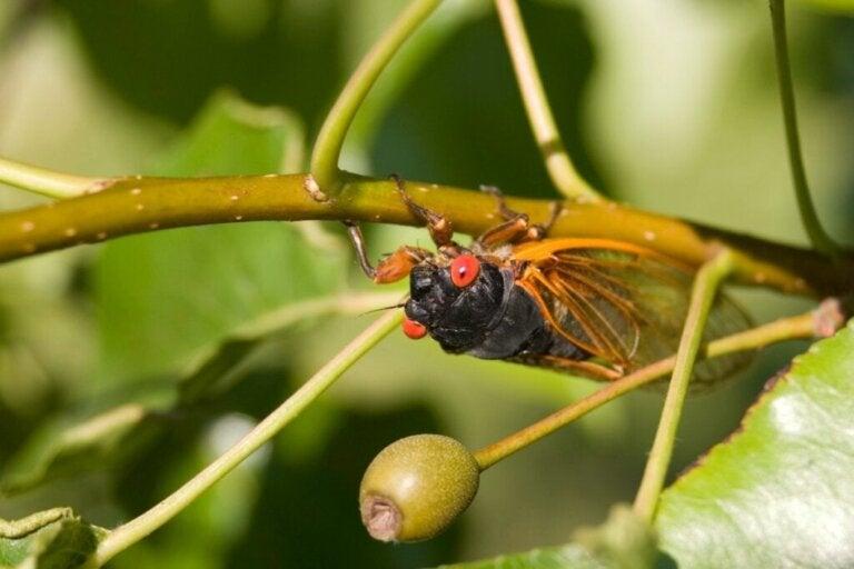 Cicaden: habitat en kenmerken