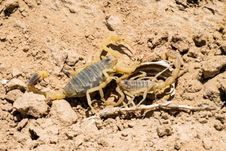 De vijfstreepschorpioen: een van de giftigste dieren ter wereld