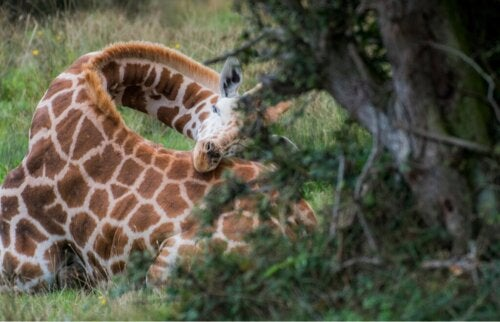 Hoe slapen giraffen?