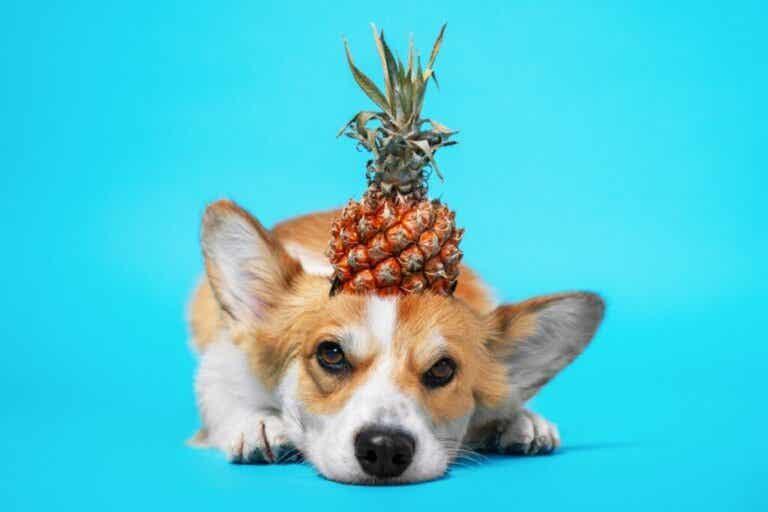 Hoe zit dat: is ananas goed voor honden?