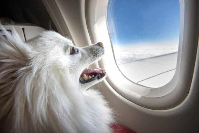Welke hondenrassen mogen niet met het vliegtuig reizen?