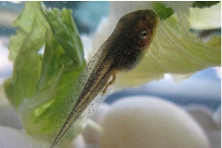 Wat eten kikkervisjes eigenlijk?