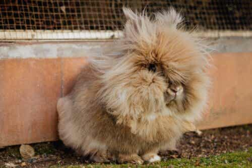 Haarballen in de maag van een konijn: wat te doen?