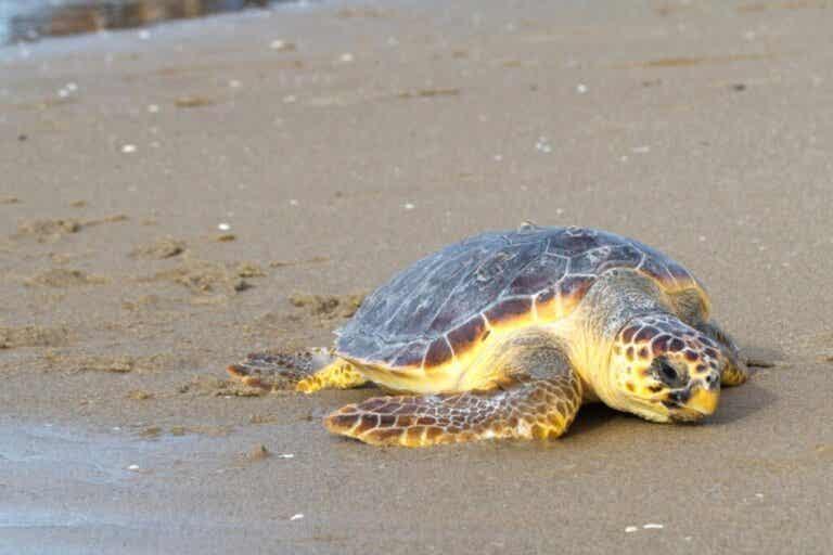 Colomera: de buitengewone reis van een zeeschildpad van 100 kilo