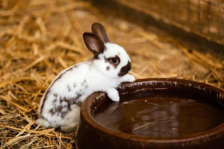 Hoe zit dat: drinken konijnen water?