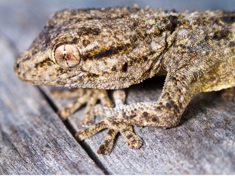 Hoe zit dat: zijn gekko's giftig?