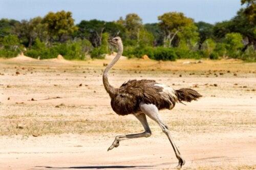Is het waar dat de struisvogel zijn kop in het zand steekt?