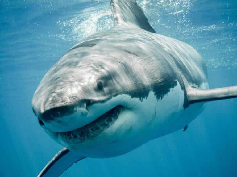 Kraakbeenvissen: habitat, soorten en kenmerken