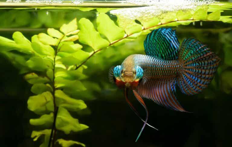Waarom is de Siamese kempvis agressief?