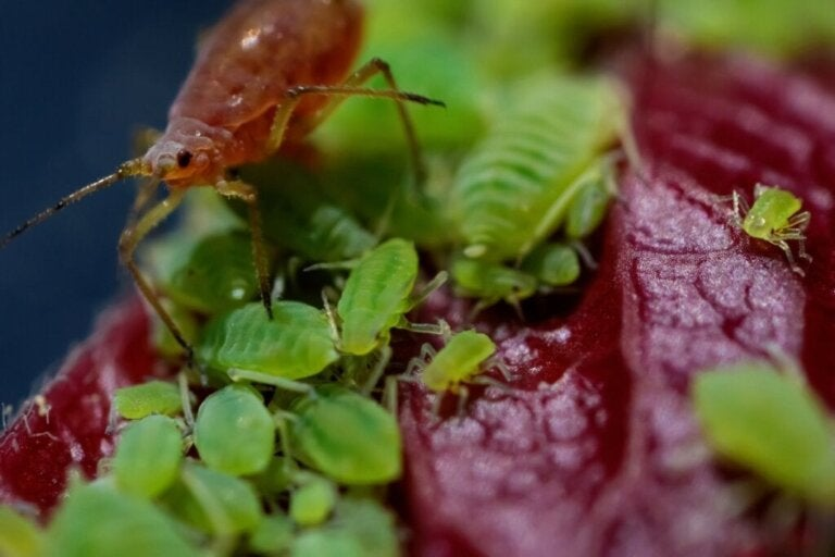 De levenscyclus van bladluizen