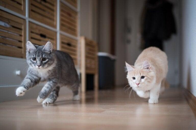 Hoe help je een kat een andere kat te accepteren?