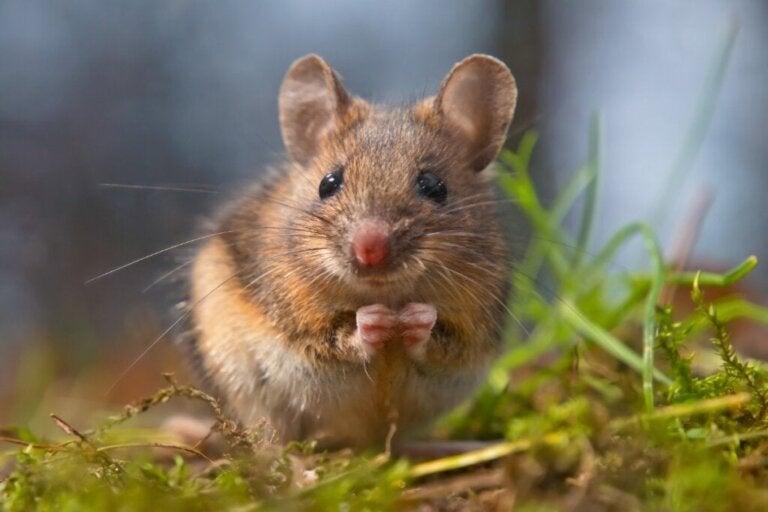 10 curiositeiten over muizen