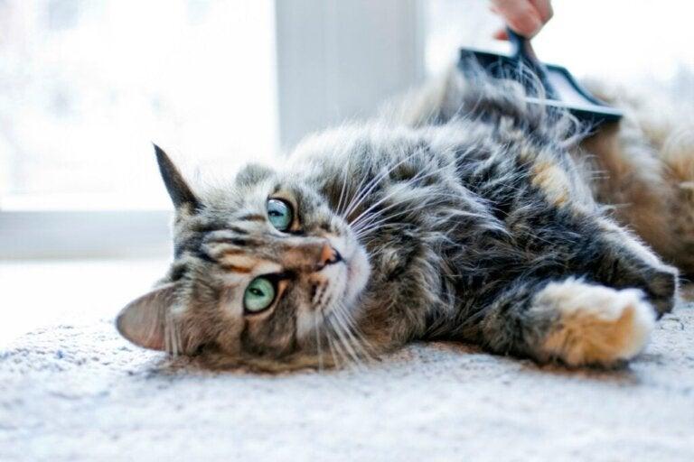 Hoe kun je kattenhaar laten groeien?
