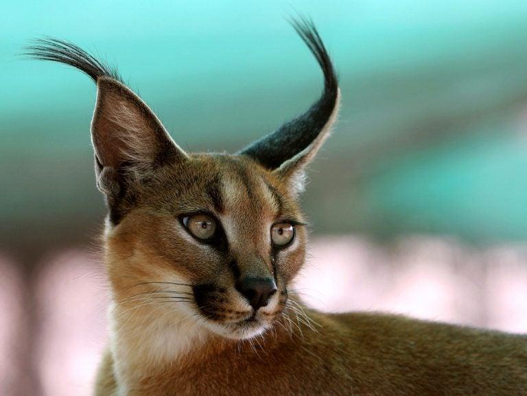 Karakal - co warto wiedzieć o tym wyjątkowym kocie?