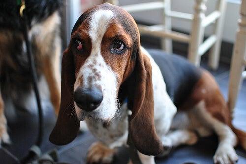 Czy psy płaczą, czy tylko łzawią im oczy?