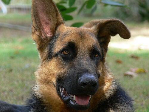 jak wyczyścić uszy psa owczarek duże uszy