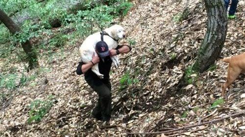 Niewidomy labrador w lesie, niesiony przez mężczyznę