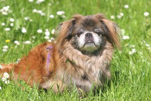 Pekińczyk na trawie. psy w grupie 9