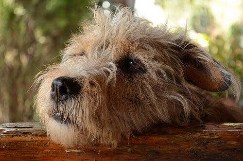 Poczucie winy u psa – czy pies może czuć się winny?