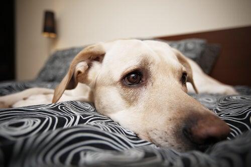 Smutny pies w łóżku