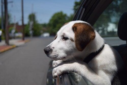 Kradzież psa – 10 porad, aby uniknąć porwania