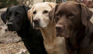 Trzy labradory.
