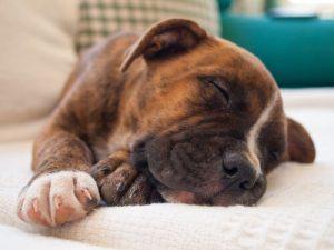 pies dobrze śpi